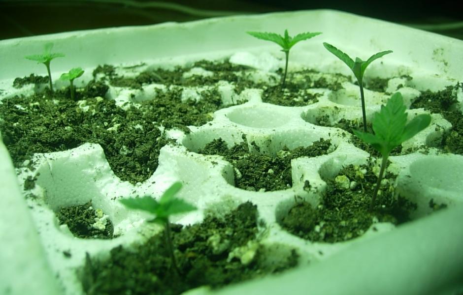 marihuana-medicinal-centrocultivo-growcenter